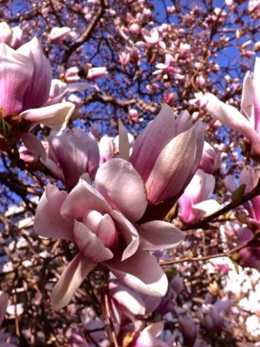 MAGNOLIA SOULANGEANA 'Valse tulpenboom, beverboom'