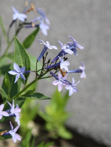 AMSONIA 'Blauwe ster'